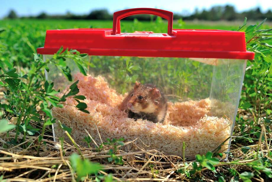But there are hawks and foxes ... I won't have a wheel to run on in the middle of the night when you're trying to sleep ...A common hamster waits to be released in a field near Boesfeld, Germany. Six specimens   of the animal, which is critically endangered in many European countries, were returned to the   wild. Photo: Uwe Anspach, AFP/Getty Images