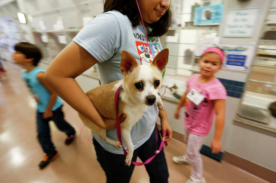 A chihuahua is carried through a hall July 2, 2014 in Houston at Houston SPCA's summer critter camp.  Photo: Eric Kayne, For The Chronicle / Eric Kayne