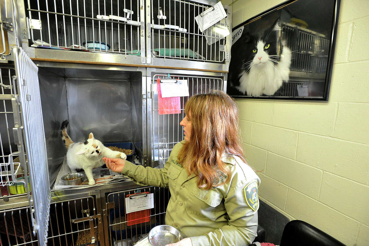 Director Laurie Hollywood interacts with a cat that was brought in with a medical problem and was successfully treated at the animal care and control shelter in Stamford, Conn., on Monday, March 17, 2014.