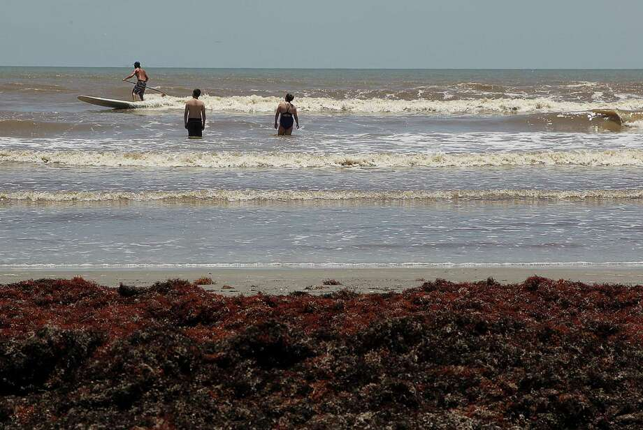 Some of Galveston's beaches may be piled high with seaweed, but that hasn't kept some hardy souls from clomping through the gunk to reach the wide open Gulf. They may be wishing they had paddle boards, too. Photo: James Nielsen, Staff / © 2014  Houston Chronicle