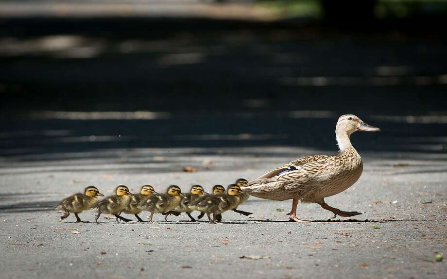 A duck with its ducklings crosses a footpath in Offenbach, near Frankfurt, central Germany, Wednesday July 2, 2014.  (AP Photo/dpa,: Frank Rumpenhorst) Photo: Frank Rumpenhorst, Associated Press