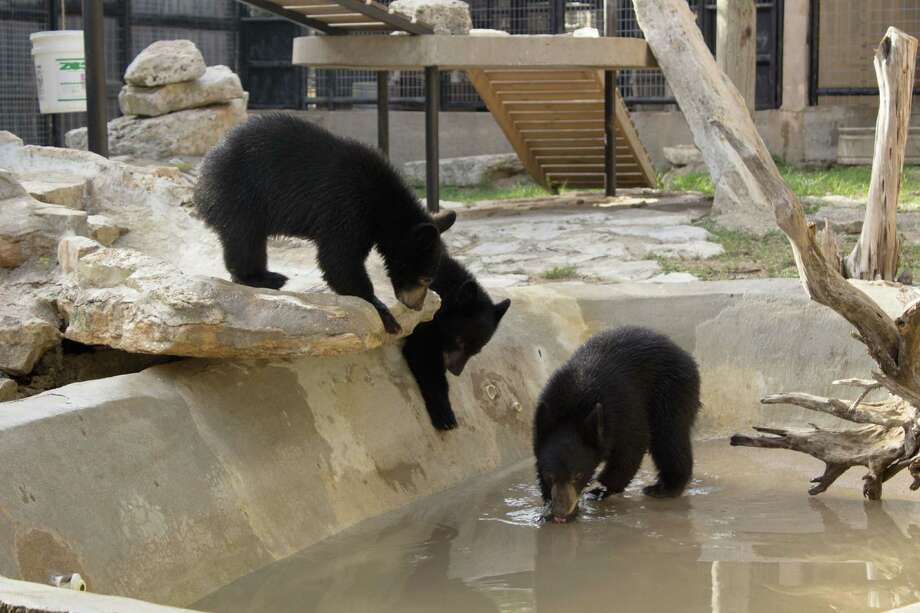 The Austin Zoo and Animal Sanctuary was burglarized overnight Thursday, but the zoo remained open, debuting three North American black bear cubs Friday. Photo: Annarose Childress/MOSAK