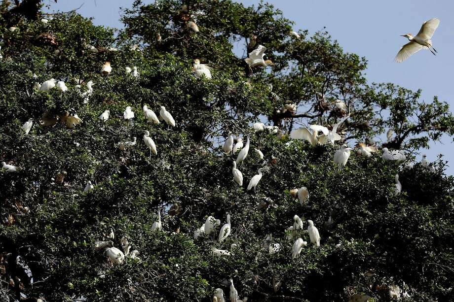 Massive flocks of egrets and heron can be seen nesting in trees along the San Antonio River in Brackenridge Park on Thursday, July 3, 2014. Education and operations manager Jason St. Sauver of Mitchell Lake Audubon Center said the birds are at the tail end of their breeding season but the large colonies may still persist. The birds may find the area a suitable habitat and if the young do not migrate then the rookeries will remain. In a TV story, San Antonio Zoo officials have had to shut down a children's exhibit due to the overpopulation of the birds. The exhibit will likely have to be overhauled once the population of birds decrease. Photo: Kin Man Hui, San Antonio Express-News / ©2014 San Antonio Express-News