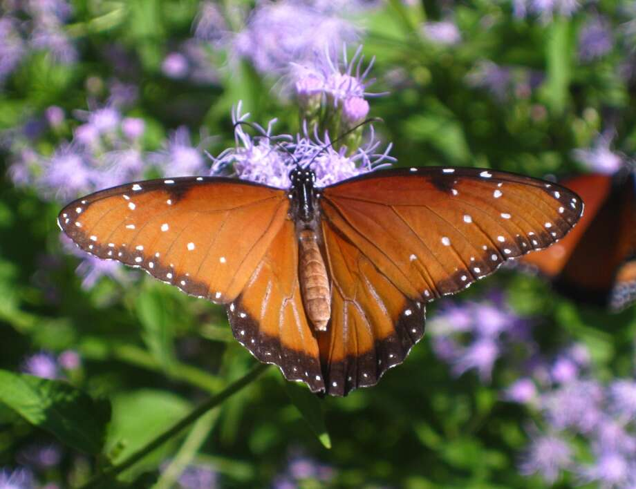 Other important pollinators include birds, bats and other insects such as butterflies (shown), wasps, moths, beetles and flies. Photo: Chris LaChance Photo