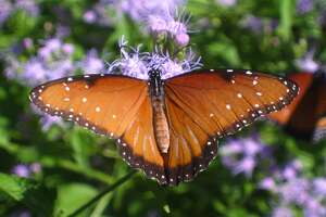 Other important pollinators include birds, bats and other insects such as butterflies (shown), wasps, moths, beetles and flies.