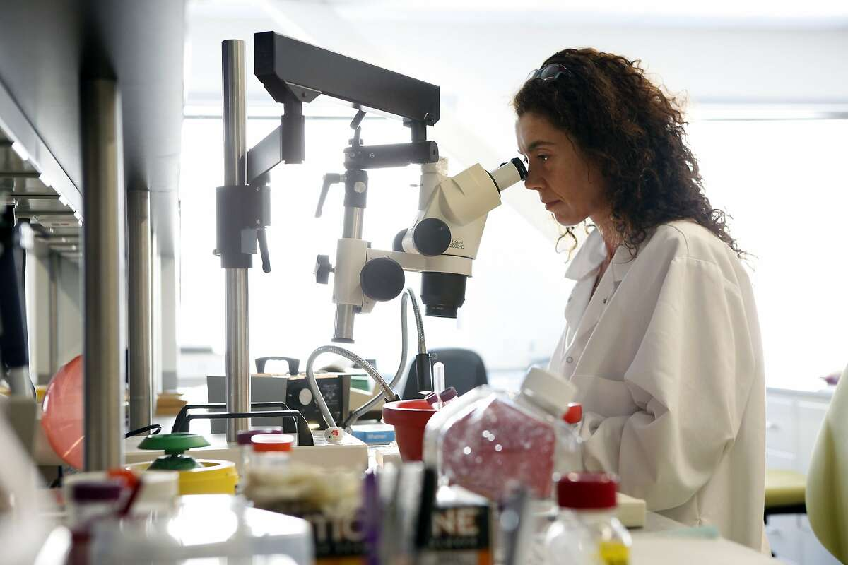 Director of Neurobiology Alexandra Capela looks at rat retinas used in neural stem cell research, under a microscope, while working at Stem Cells Inc. in Newark, CA, Wednesday, July 2, 2014.