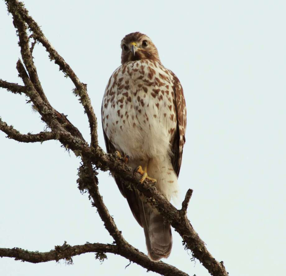 """This juvenile red-shouldered hawk and its sibling often pose for photographs and squawk as if to say, """"Here I am."""" Photo: Forrest M. Mims III / For The Express-News / ALL RIGHTS RESERVED."""