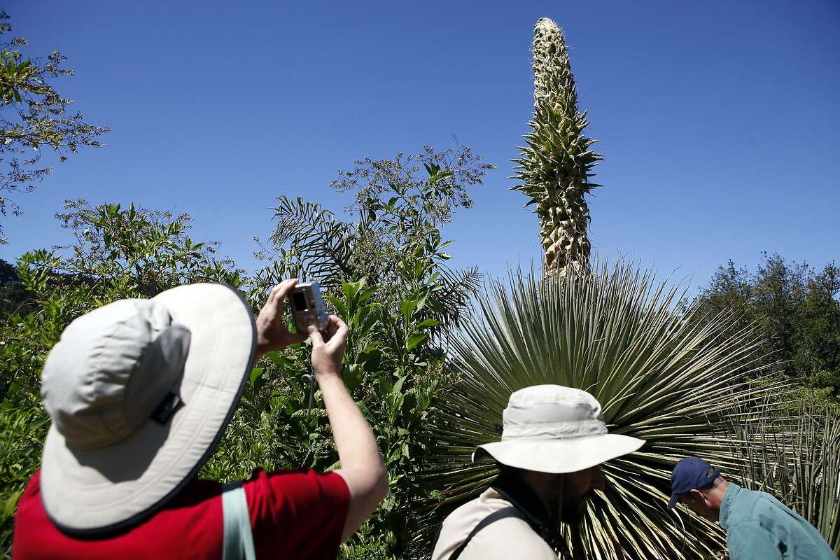 Garden curator Holly Forbes photographs the Puya raimondii that appears poised to set a record for early blooming.