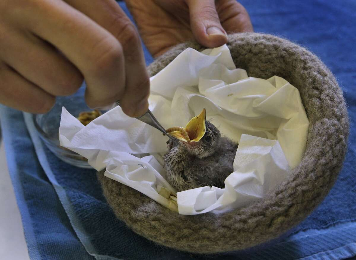 Noam Mendelson feeds a rescued songbird in an artificial nest knitted by an army of volunteers at the WildCare wildlife rescue center in San Rafael, Calif. on Thursday, June 5, 2014. So many knitted nests are produced that the center will ship some off to other rescue centers in need.