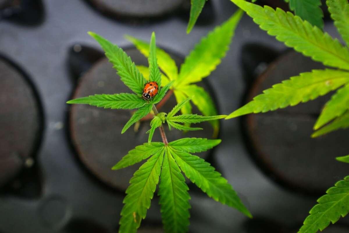 A ladybug helps keep marijuana plants healthy in the