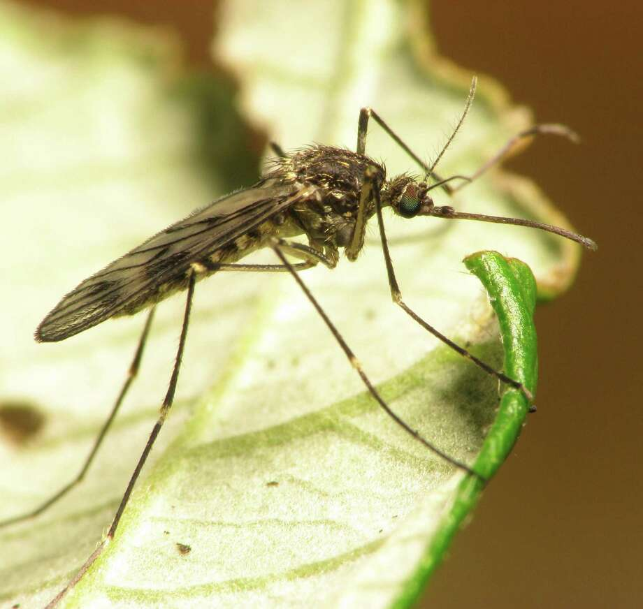 With recent heavy rains, mosquitoes are buzzing around backyards. Fogging with a blend of natural oils will help keep them away. Photo: Express-News File Photo