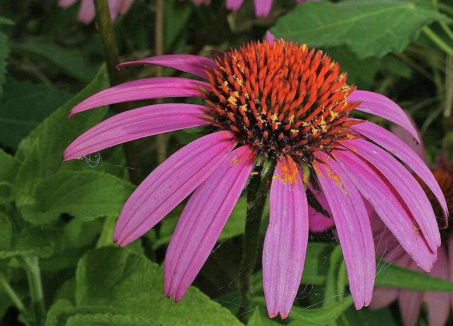 Purple coneflower attracts butterflies and bees. Photo: Courtesy Bob Fitzsimmons