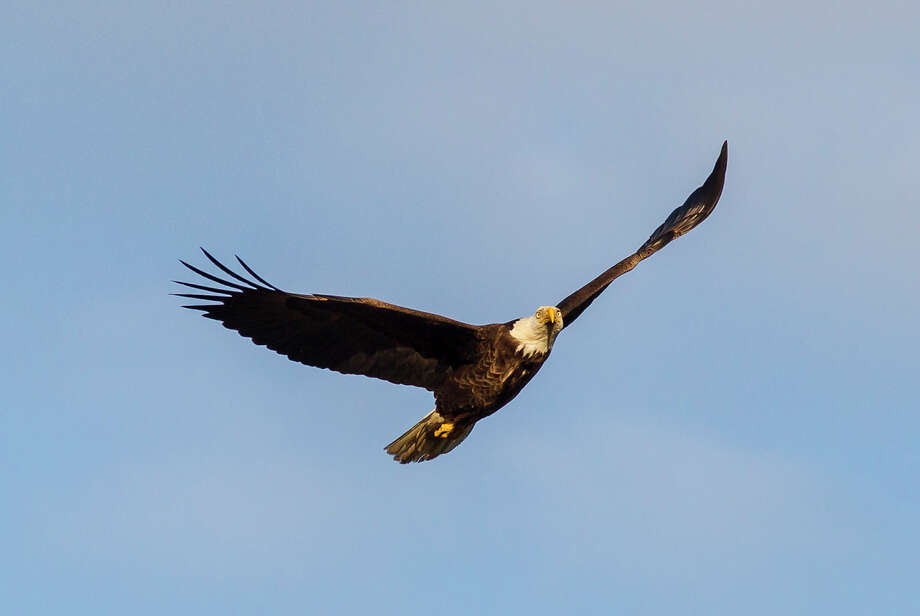 Bald eagles, our national bird, can be seen along Buffalo Bayou in downtown Houston.Photo Credit:  Kathy Adams Clark  Restricted use. Photo: Kathy Adams Clark / Kathy Adams Clark/KAC Productions