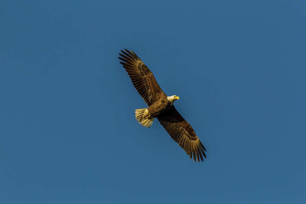 Bald Eagle Remains A Fitting Symbol Of United States Houston Chronicle