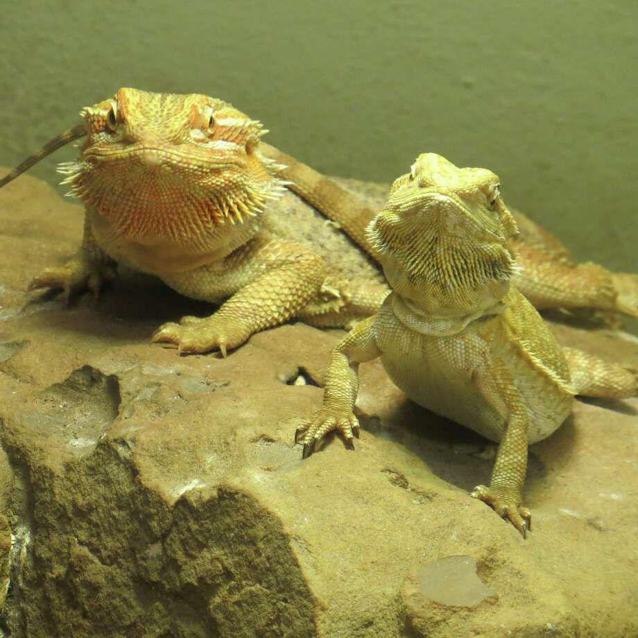 These bearded dragons  wait to be fed  at Animal World and Snake Farm Zoo in New Braunfels. Photo: Jennifer Rodriguez / For The Express-News