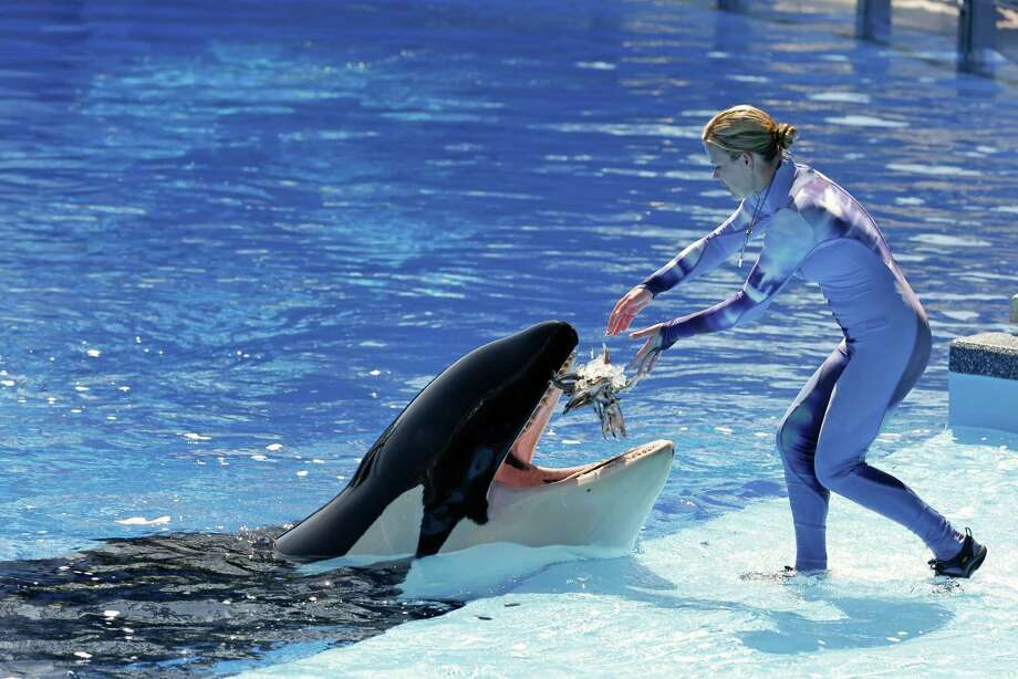 SeaWorld trainer Michelle Shoemaker feeds killer whale Kayla in Orlando, Fla. According to the AP's analysis of federal data, orcas born in captivity at SeaWorld had a higher life expectancy than the average at U.S. parks. Photo: John Raoux, STF / AP