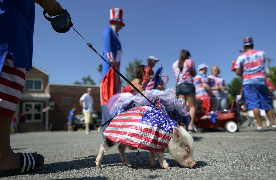 Porkchop, a miniature pot-bellied pig, lines up to participate in the Fourth of July parade in Mebane, N.C., Friday, July 4, 2014. (AP Photo/The Times-News, Scott Muthersbaugh) Photo: Scott Muthersbaugh, Associated Press