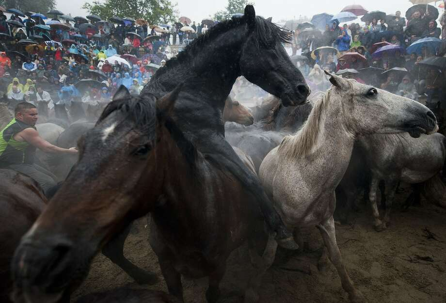 """Aloitadores"" (fighters) struggle with wild horses during the ""Rapa Das Bestas"" (Shearing of the Beasts) traditional event in the Spanish northwestern village of Sabucedo, some 40 kms from Santiago de Compostela, on July 5, 2014. During the 400-year-old horse festival, hundreds of wild horses are rounded up from the mountains, trimmed and groomed. AFP PHOTO / MIGUEL RIOPAMIGUEL RIOPA/AFP/Getty Images Photo: Miguel Riopa, AFP/Getty Images"
