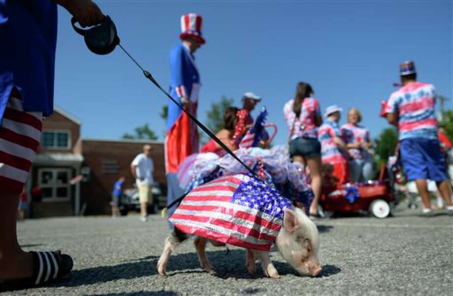 Porkchop, a miniature pot-bellied pig, lines up to participate in the Fourth of July parade in Mebane, N.C., Friday, July 4, 2014. (AP Photo/The Times-News, Scott Muthersbaugh) Photo: Scott Muthersbaugh, Associated Press / The Times-News