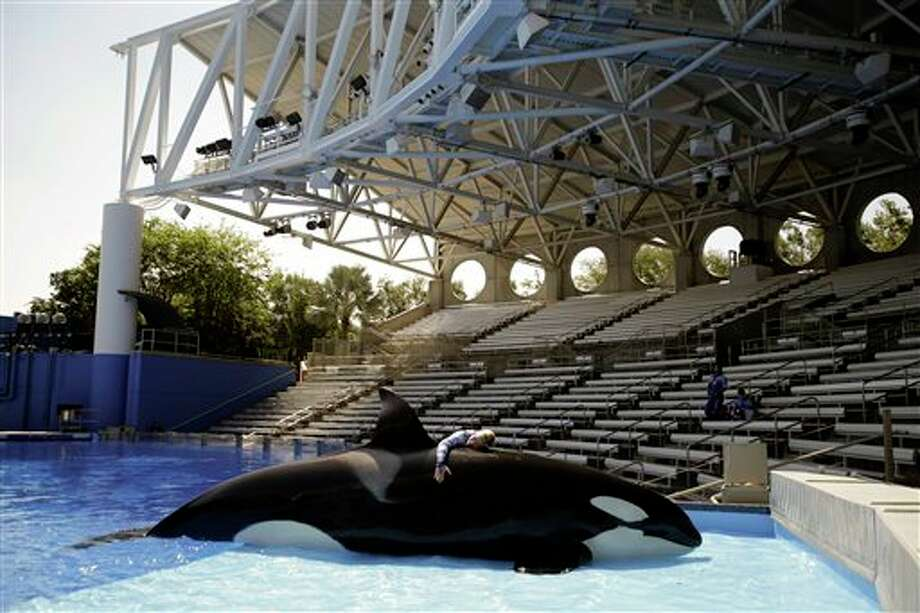 "In this April 10, 2014 photo, Sea World trainer Michelle Shoemaker hugs killer whale Kayla as she works on a routine before a show, in Orlando, Fla. SeaWorld Entertainment, Inc. has faced criticism over its treatment of its captive killer whales since the release of the highly-critical documentary, ""Blackfish,"" last year. (AP Photo/John Raoux) Photo: John Raoux, Associated Press / AP"