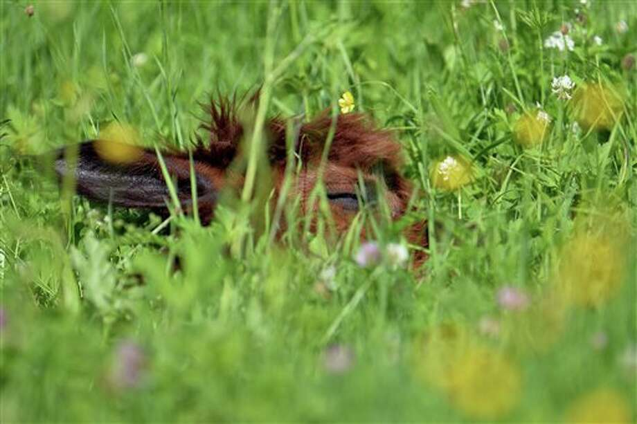 An alpaca sleeps in wild flower covered grassland at Alpaca-Land farm in Unken in the Austrian province of Salzburg, Sunday July, 6, 2014. The annual shearing makes the animals more comfortable for the summer months. (AP Photo/Kerstin Joensson) Photo: Kerstin Joensson, Associated Press / AP