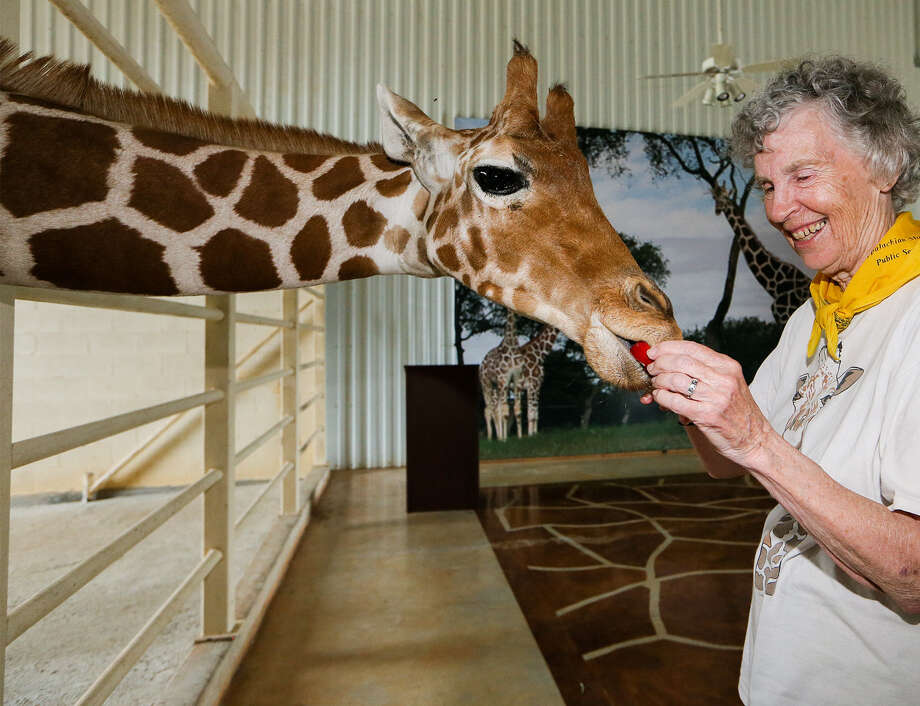 Giraffe expert Anne Innis Dagg feeds an apple slice to Nakato at Natural Bridge Wildlife Ranch. Photo: Photos By Marvin Pfeiffer / San Antonio Express-News / EN Communities 2014