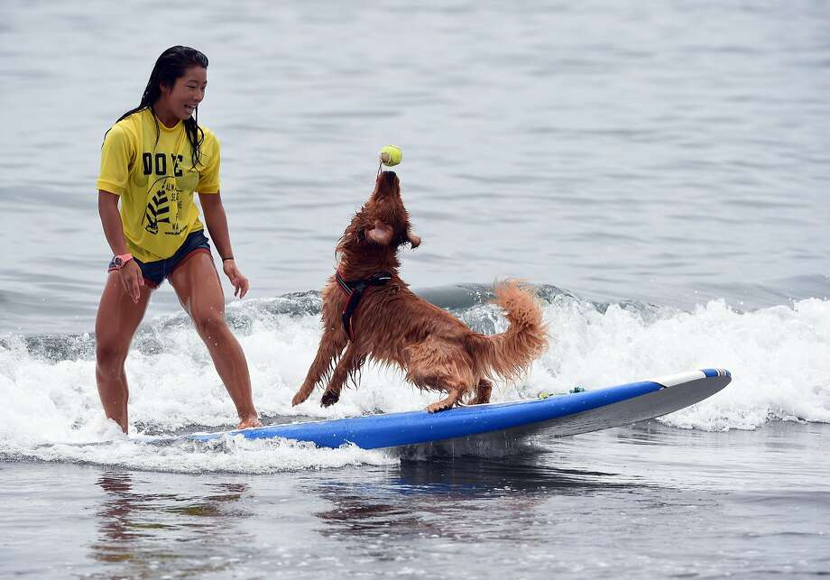 Getting a dog to surf is hard enough,but Nao Omura's pooch Bell not only can catch a wave - he can   catch a ball while catching a wave. The pair were competing in the animal-surfing portion of the   Mabo Royal Kj Cup surfing contest in Fujisawa, Japan. Photo: Toshifumi Kitamura, AFP/Getty Images