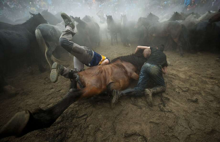 """TOPSHOTS """"Aloitadores"""" (fighters) struggle with a wild horse during the """"Rapa Das Bestas"""" (Shearing of the Beasts) traditional event in the Spanish northwestern village of Sabucedo, some 40 kms from Santiago de Compostela, on July 5, 2014. During the 400-year-old horse festival, hundreds of wild horses are rounded up from the mountains, trimmed and groomed. AFP PHOTO / MIGUEL RIOPAMIGUEL RIOPA/AFP/Getty Images Photo: Miguel Riopa, AFP/Getty Images"""