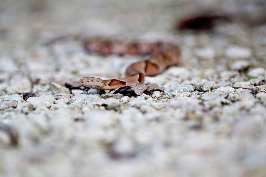 A copperhead snake Photo: Johnny Hanson, Staff / © 2014  Houston Chronicle