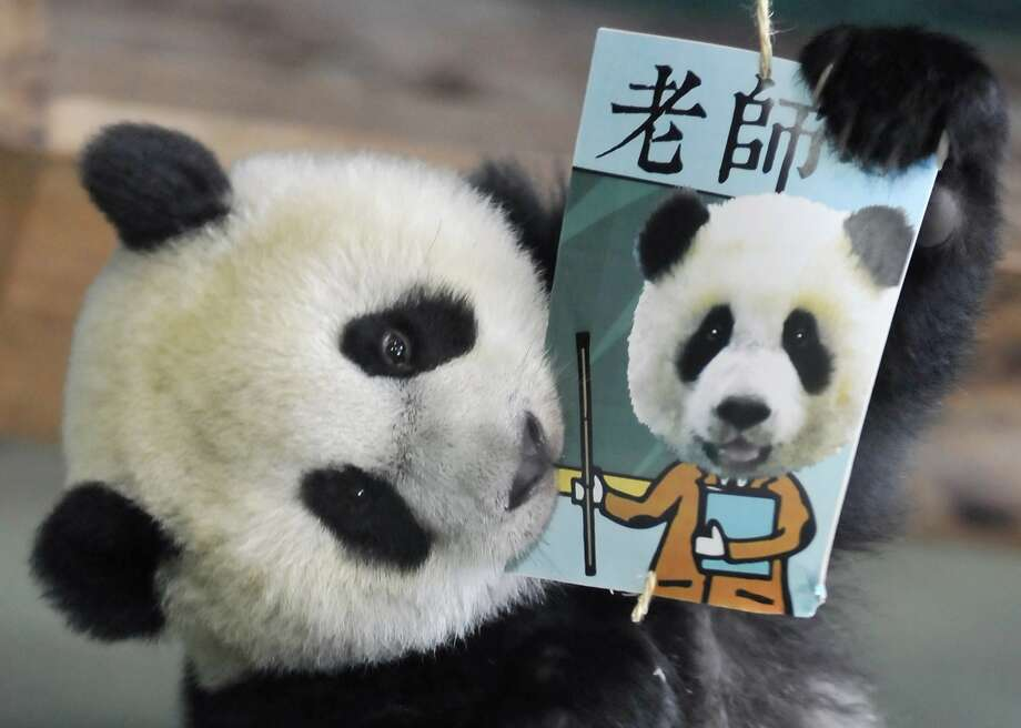 """He'd rather masticate than matriculate:Yuan Zai, the first panda born in Taiwan, tries to eat a teacher """"career card"""" during Zhua Zhou, a   traditional game played on a child's first birthday to determine his or her future. Photo: Mandy Cheng, AFP/Getty Images"""