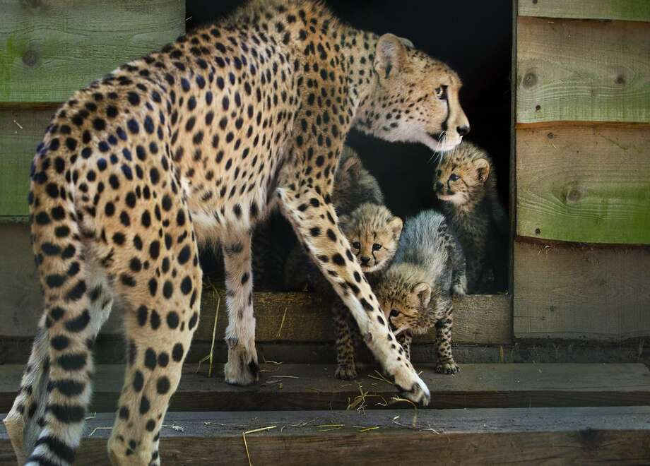Cheetah Burgers! Cheetah Burgers!A mother cheetah watches over her sextuplet cubs at the Burgers 