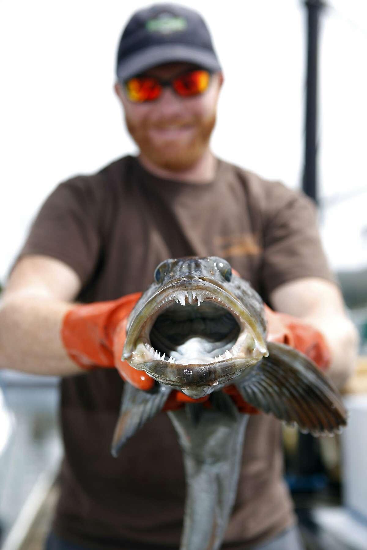 Fisherman Don Marshall holds a lingcod on the docks at Pillar Point Harbor in Half Moon Bay, CA, Saturday, June 28, 2014.