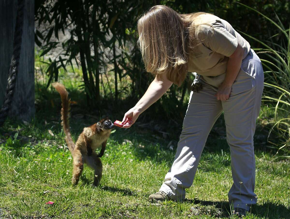 Zoological manager Margaret Rousser offers a treat to Dern, a blue-eyed lemur, at the Oakland Zoo in Oakland, Calif. on Tuesday, July 1, 2014. Zookeepers are hoping that their resident blue-eyed lemur Anthony will mate with Dern, a female of the same species who is on loan from the Cameron Park Zoo in Waco, Texas, with the hope that they will produce offspring this winter.
