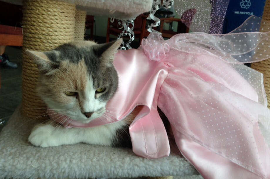 "Sweetie, an Animal Care Services office cat, accepts the glory as she sits through a ""Kitty Quinceañera"" to promote adoptions. Photo: Courtesy"