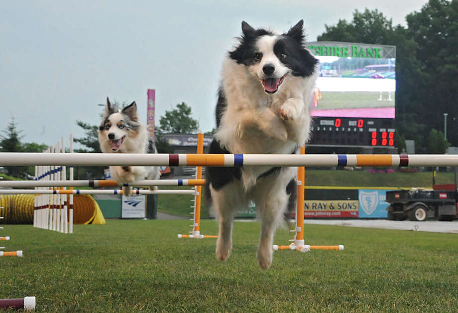 Aussies Alfie, left, and Savannah jump hurdles on a mini agility course set up on the field before the Bark in the Park game with the Tri-City ValleyCats taking on the Connecticut Tigers at the Joe Bruno Stadium Monday, July 7, 2014 in Troy, N.Y. (Lori Van Buren / Times Union) Photo: Lori Van Buren / 00027534A