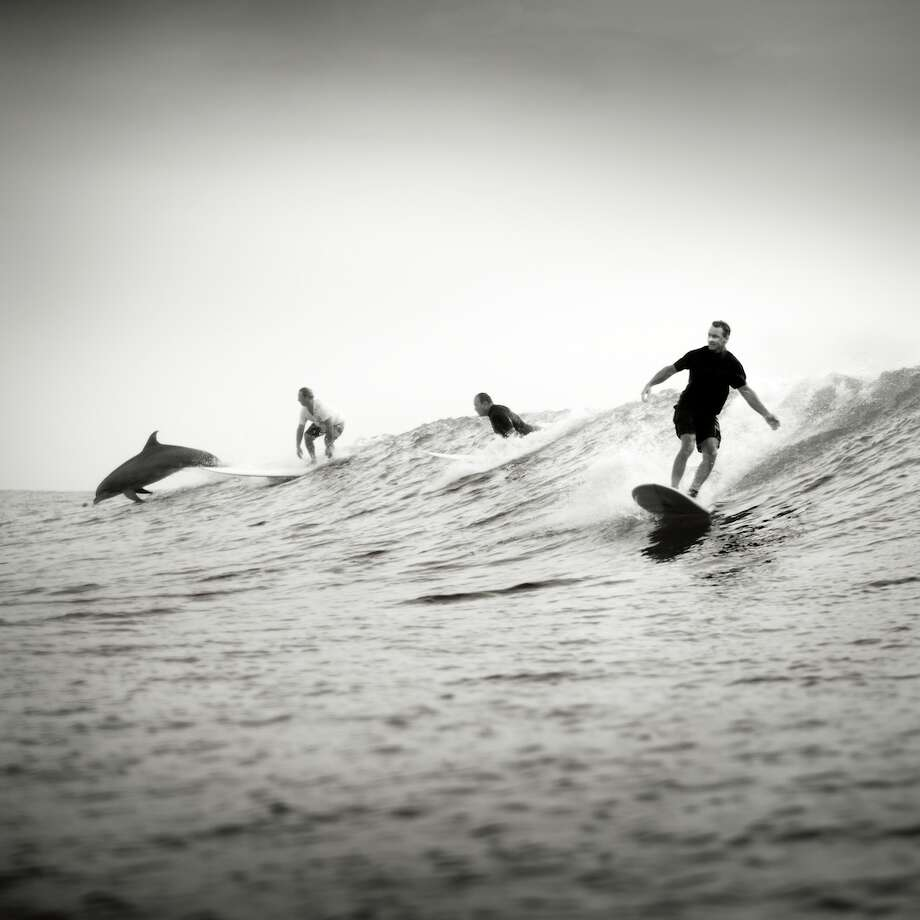 Surfing Dolphin, South Padre Island, 2012. Photo: Photos By Kenny Braun,  University Of Texas Press