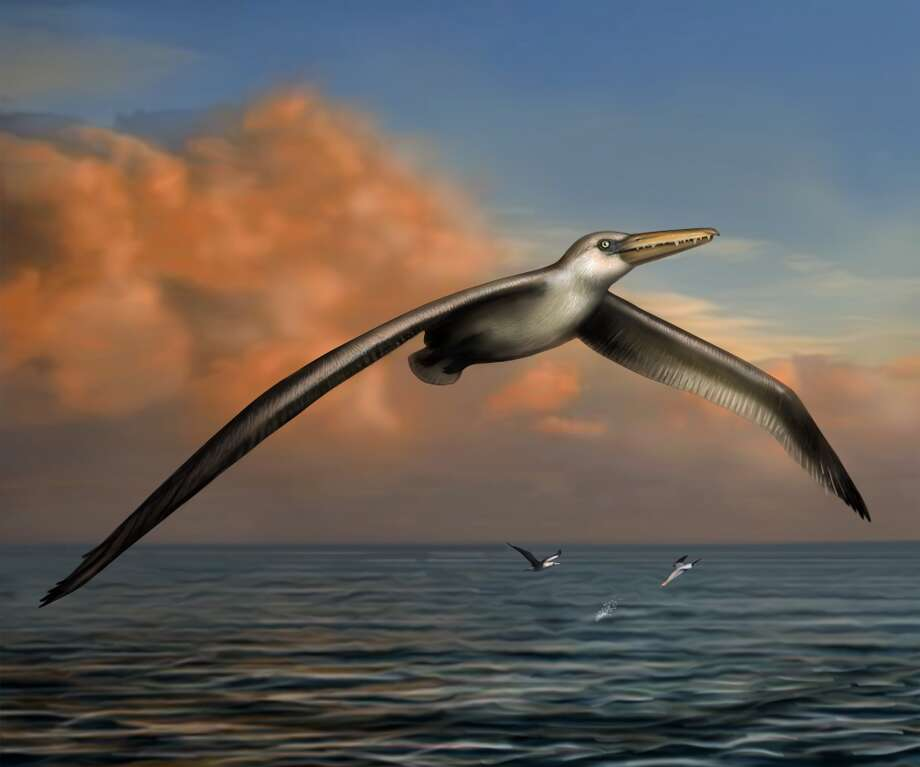Reconstruction of World's Largest-Ever Flying Bird,  Pelagornis sandersi. Reconstruction  art by Liz Bradford