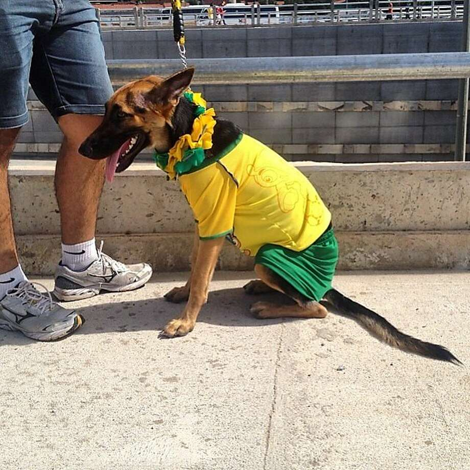 It's official - I look ridiculous: Before Tuesday's game, Brazilians were so happy, they were dressing up their dogs to resemble the national flag. Photo: Natacha Pisarenko, Associated Press