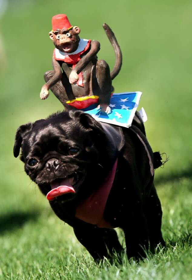 Sorry, unknown German pug owner, but putting a fake angry monkey on your dog's back is not going to make him run faster in the 50-meter race course at Munich Mopsrennen. Photo: Stephan Jansen, AFP/Getty Images