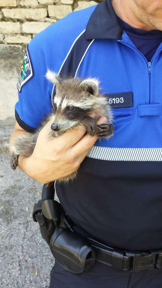 Austin police rescued a baby raccoon from a hot car Tuesday morning. The animal is now with the city's animal control division. (Photo courtesy of Austin Police Department)