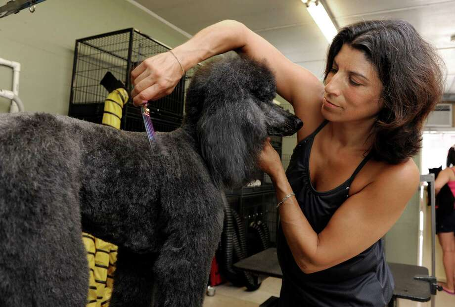 Melissa Gale, 42, of Newtown, grooms Soplie, a standard poodle at her business, Beyond the Flea in Bethel, Conn., Tuesday, July 8, 2014. Photo: Carol Kaliff / The News-Times