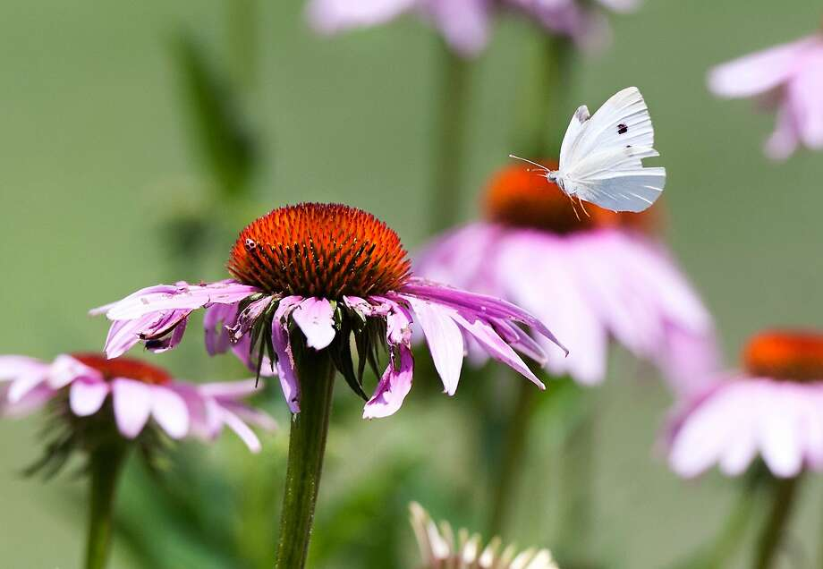 A cabbage white butterfly hovers over a coneflower at the Edith J. Carrier Arboretum on the campus of James Madison University in Harrisonburg, Va. Photo: Michael Reilly, Associated Press