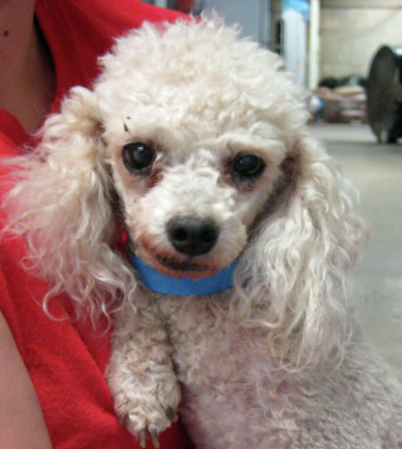 A Poodle rescued by the Texas Humane Heroes from a breeder in Central Texas. Photo: Courtesy/Texas Humane Heroes
