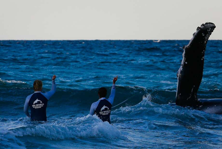 Stranded whale: Sea World marine rescue workers try to rescue a humpback whale beached at Palm Beach on Queensland's Gold Coast. Unfortunately, they were forced to suspend the operation as fading light hampered efforts to return it to sea. Photo: Patrick Hamilton, AFP/Getty Images