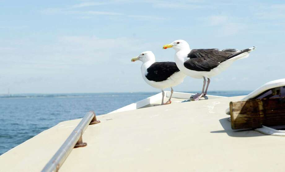 Seagulls hitch a ride on Mike Kalaman's boat, Dark Horse, as they wait for easy pickings on the Long Island Sound on Wednesday, July 9, 2014. Photo: Lindsay Perry / Stamford Advocate