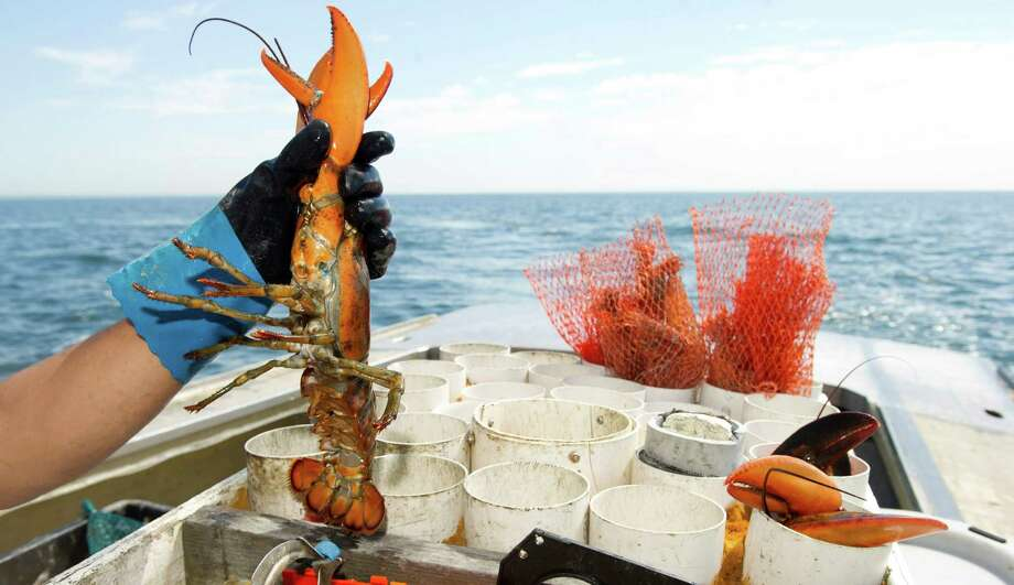 Nelson Juarez picks up a lobster to band its claws on the Long Island Sound on Wednesday, July 9, 2014. Photo: Lindsay Perry / Stamford Advocate
