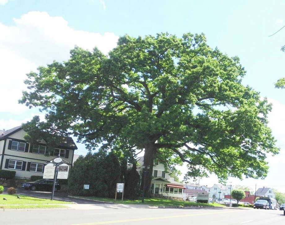 The so-called Gateway Oak, on West Putnam Ave. is seen here standing proudly as it watches over Greenwich back in 2008. The tree, however, which is more than a century old,  is beginning to show its age. At least three large branches have snapped since July 4. Photo: Anne Semmes / Greenwich Time