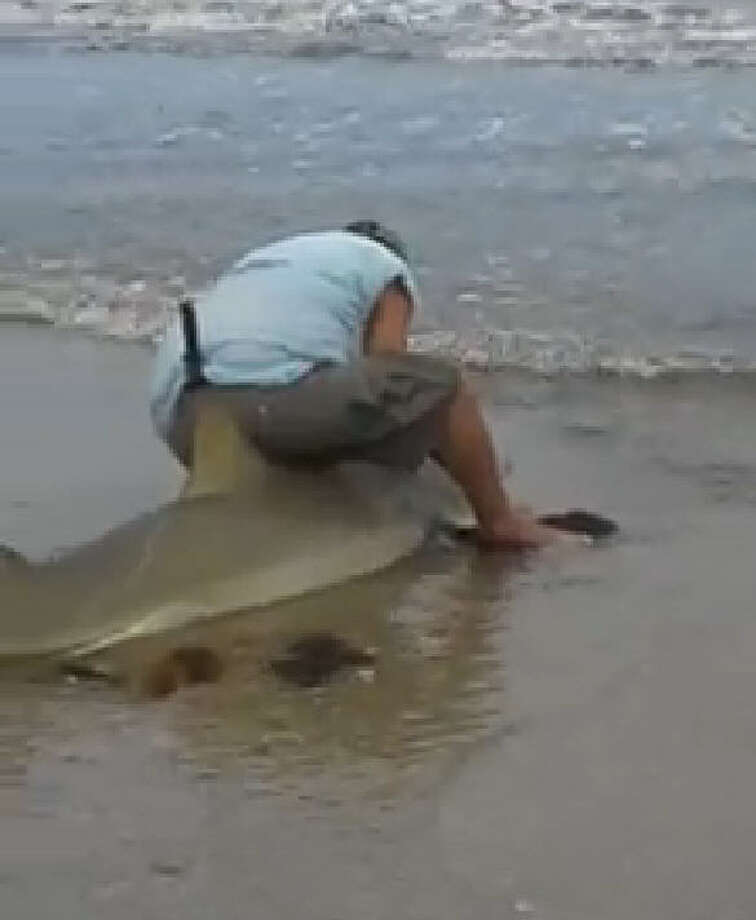 Fisherman Paul Lipinski, 50, from Cyrpess, unhooks the shark and drags it back out into the Gulf in a video posted on Facebook and located at Galveston Beach. Photo: Demarcus Arvie/Facebook