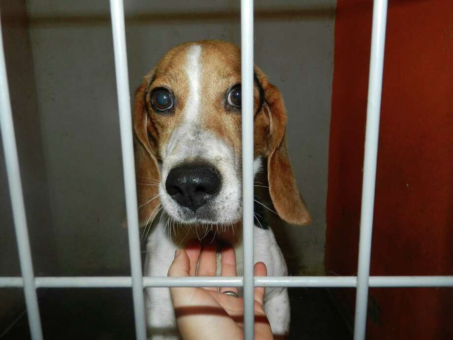 The Beagle Freedom Project rescued seven beagles from a border area laboratory Tuesday. The beagles spent their first day of freedom with treats and TLC on a soft, green grass. Photo: Courtesy/Beagle Freedom Project