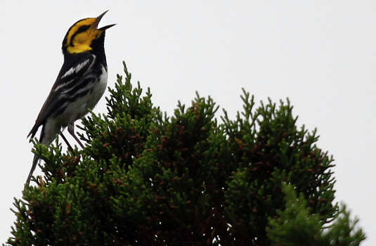 Golden-cheeked Warbler Photo: LISA KRANTZ, San Antonio Express-News / SAN ANTONIO EXPRESS-NEWS